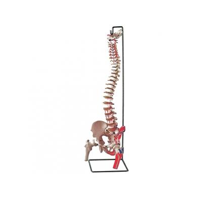 FLEXIBILNÍ VERTEBRÁLNÍ SLOUPEC se svaly stehenních hlav