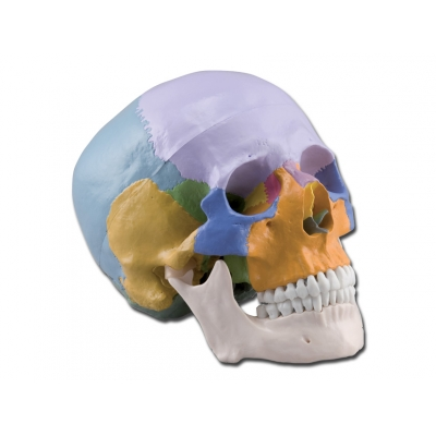 HUMAN SKULL - 1X - 3 díly - barevné