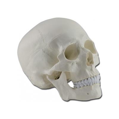HUMAN SKULL - 1X - 3 díly