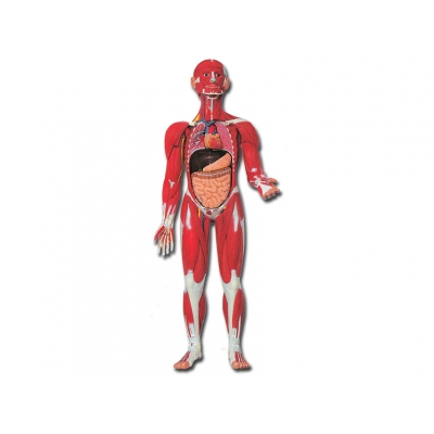MUSCULAR HUMAN BODY - 30 dílů - 0,5X